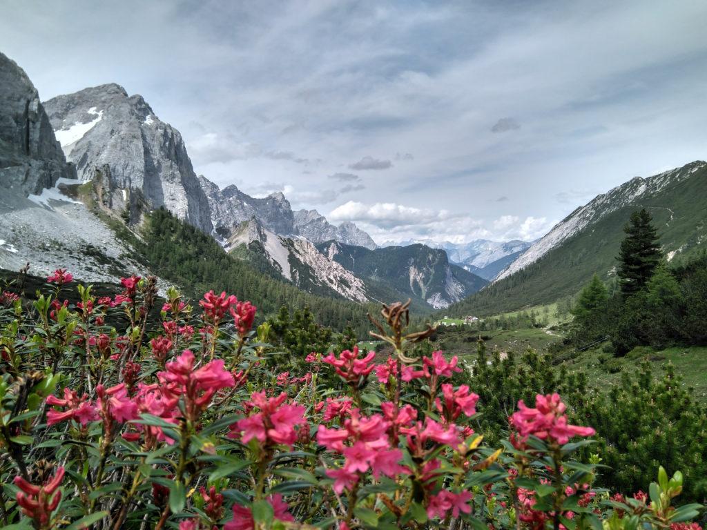 Alpenrosen im Karwendel