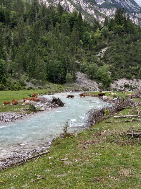 Kühe durchqueren die Isar im Hinterautal